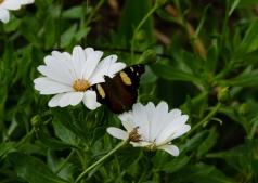 Yellow Admiral butterfly, Vanessa itea, by Adrienne Meyer